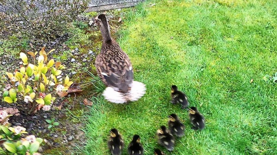 Ducklings at Nazareth House Dublin