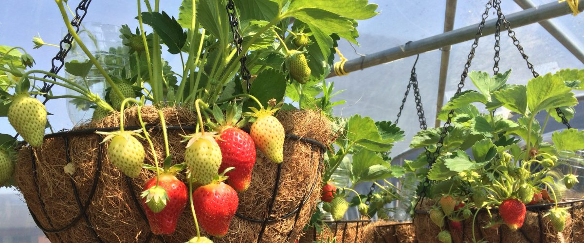 Mouth watering strawberries growing in hanging baskets in the polytunnel, representing activities at Nazareth Village